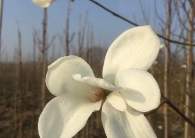 Magnolia salicifolia 'Louisa Fete