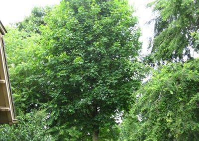 Acer saccharum Arrowhead