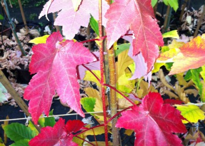 Acer rood