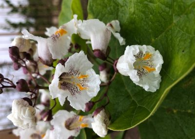 Catalpa bignoniodes 'Aurea'