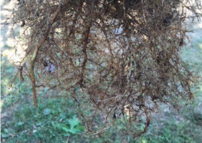 boom op eigen wortel