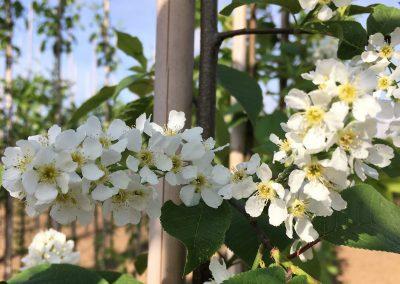 Prunus Padus 'Schloss Tiefurt'