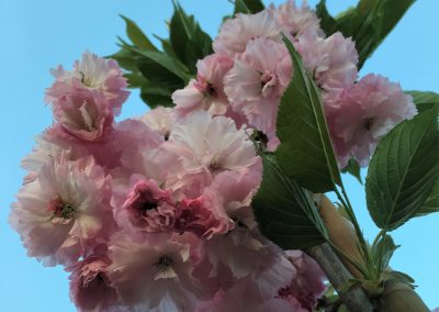 Prunus 'Pink Perfection