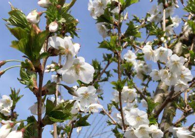 Prunus fastgiata