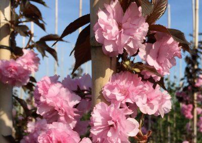 Prunus serrulata 'Shirofugen