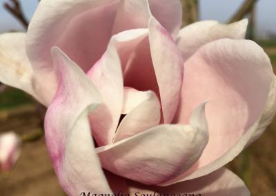 beverboom Magnolia Soulangeana
