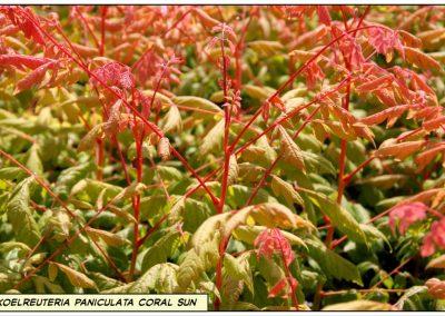 koelreuteria paniculata Coral sun