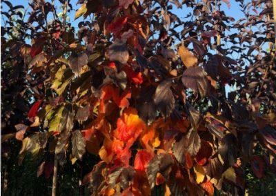 Parrotia persica 'Bella'