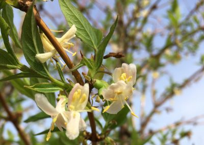 lonicera japonicum