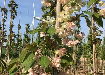 Prunus serrulata 'Taihaku'