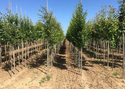 Boomkwekerij 'Letteland'  bomen op eigen wortel