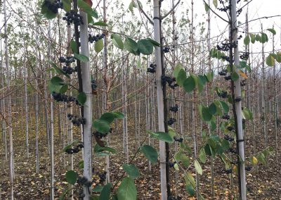 Cotoneaster ignotus
