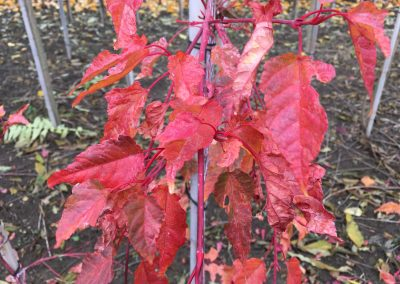 Acer conspicuum 'Red Famingo'